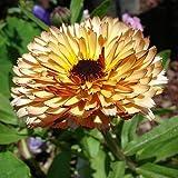 Semillas de belleza de albaricoque Pot Marigold - Calendula officinalis
