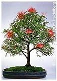 Tropica - Bonsai - piumino arbusto (Calliandra haematocephala) - 10 semi