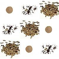 Vollständiges Ersatz-Kit für Sand-Ameisenfarm - Ameisen mit Königin FREE