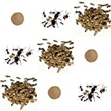Complete replacement kit for Sand Ant Farm - Live ants colony with queen, workers, eggs and larvae.