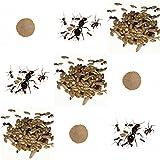Kit di ricambio completo per gli formiche dell'arena - Formiche Gratuiti con Regina