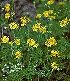 BALDUR-Garten Schöllkraut,3 Pflanzen Chelidonium majus Heilpflanze