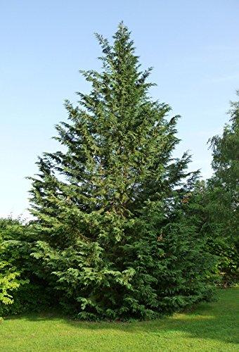 cupressocyparis-cipresso-leylandii-vaso-18cm-sempreverdi