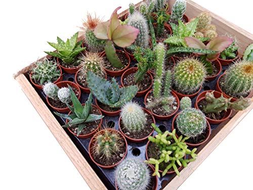 Mini-Kakteen und Sukkulenten, Mischung - incl. Holzkiste (30 Pflanzen je im 3,5cm Topf, incl. Holzkiste)