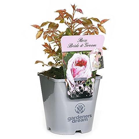 BRIDE & GROOM - GardenersDream® Potted Gift Rose Wedding /