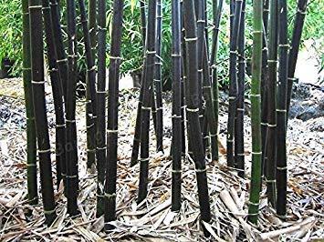 PlenTree 200 graines de Fresh bambou noir Phyllostachys Nigra. haut germination