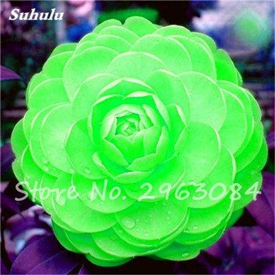 5 pièces rares Graines arc-en-Camellia fleurs, plantes en pot de bricolage, Lumière Parfumée Fleur intérieur, intérieur Bonsai planter des fleurs Semences 4