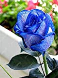 200 stücke Samen Rosen in blau