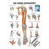 Obere Extremität Lehrtafel Anatomie 100x70 cm medizinische Lehrmittel