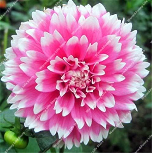 100 Pcs Dahlien Bio riesen faszinierende Balkonkasten-Blumenm winterhart mehrjährig dahlien Pflanze bulb exotische Blumensamen Sommer Blumen Samen (16)