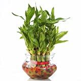 #6: Nurturing Green Lucky Bamboo Two Layer Round Glass Pot