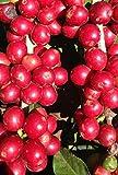 Coffea arabica nana - Zwergkaffeestrauch - 10 Samen