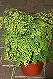 """Zimmerpflanze - Adiantum Raddicons """"Fragrans"""" - Frauenhaarfarn - große buschige Zimmerpflanze ca. 40cm hoch"""