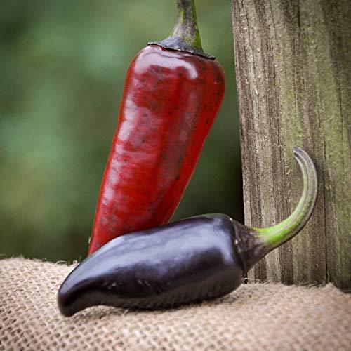PLAT FIRM KEIM SEEDS: Lila Serrano Chile Pfeffer Premium-Samen-Paket-Rekord Hottest in der Welt (Rekord-pakete)