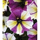 200 semillas / bolsa de semillas de la petunia que suben las semillas de flor de la petunia petunia H Mezclar el hogar Jardín de Bonsai planta de Borgoña