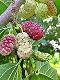 GELSO-MORUS SANGUE LATTE- SANGUE LATTE- albero da frutto da esterno pianta vera