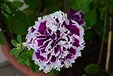 Petunie F1 Purple Pirouette 15 Samen, doppelblumig