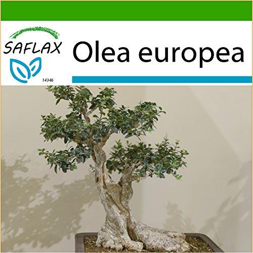 SAFLAX - Bonsai - Ölbaum - 20 Samen - Mit Substrat - Olea europea