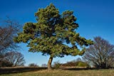 Artland Qualitätsbilder I Wandbilder Selbstklebende Premium Wandfolie 60 x 40 cm Botanik Bäume Nadelbaum Foto Blau D3XV Eine Kiefer als Solitär im Winter