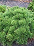 Zwergkiefer, Pinus mugo var. pumilio 30 - 40 cm breit im 5 Liter Pflanzcontainer