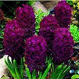 Shopmeeko 100 STK/Beutel Jacinto bons¡i Blume (Nicht Jacinto) Holland Blume Hydrokultur Pflanze Außen für Garten Haus: 11