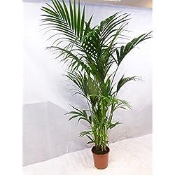 [Palmenlager] Howea forsteriana - Kentia Palme 200-220 cm / 10(!) Stämme // Zimmerpalme Zimmerpflanze