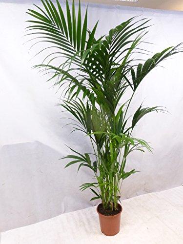 [Palmenlager] Howea forsteriana - Kentia Palme 220 cm/10(!) Stämme//Zimmerpalme Zimmerpflanze
