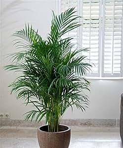 Pianta vera ornamentale da interno PALMA DI ARECA DA APPARTAMENTO DA 160 cm