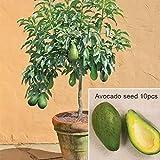 Wekold Avocado Samen Bonsai Gr¨¹n Obst Samen - 10 Samen Garten Persea Americana Samen