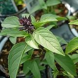 BASILICO LIQUIRIZIA o ANICE 200 SEMI Persiano Liquerizia pianta erba aromatica