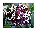 15x Drachen purpur Weiß/Lila Streifen Rosen Samen Blume Pflanze #312