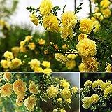 Keland Garten - 50 Stück Rosen mit Stich Blumensamen Kletterrosen Rambler-Rose Exotic Samen winterhart, geeignet für Berg, Stein, Balkon, Kopf, Garten, Terrasse, Fenster