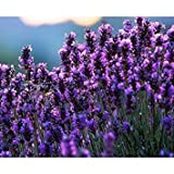 Französisch Provence Lavendel sät stark duftend Bio Lavendel Samen Pflanze Blumensamen Gartenbonsai 200 PCS / bag
