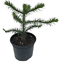 Monkey Puzzle Tree (Araucaria araucana) - 4 Years Old - 2L Pot - Great Gift