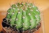 Kakteen,Mammilarien,Große Pflanzen,13er Töpfe,nr. 8