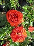 Rosa Orange Juwel® - Zwergrose Orange Juwel®