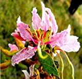 Portal Cool 5 X Bauhinia Tomentosa pianta piselli - Semi - Blossom - B773
