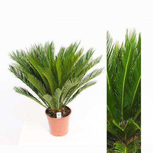 Cycas Revoluta 70cm +/- ,Palmfarn - Sagopalme, Topfgröße 15 cm