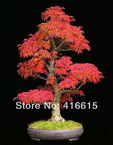 50 Samen / pack Mini Schöne Red Maple Bonsai Samen DIY Bonsai Ahorn-Samen