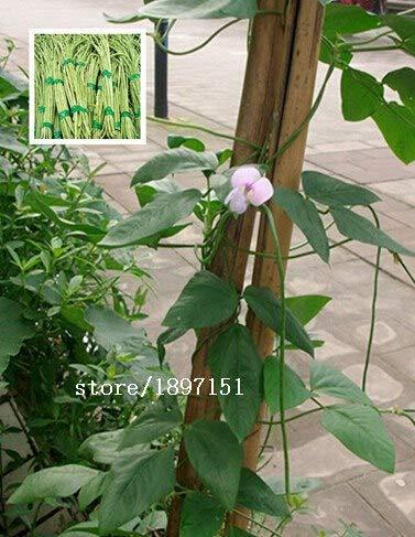 Bloom Green Co. Großer Verkauf 20seeds / bag lila rote Bohnen Samen mit Bohne Gemüsesamen Nachgeben cowpea Krankheit 15 Bohnensamen: mix (Bohne Lila Samen)