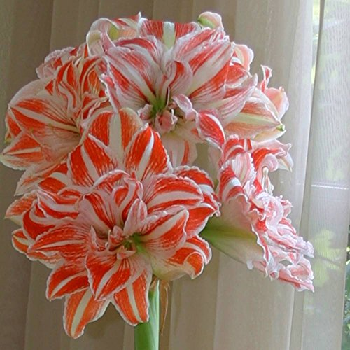 Amaryllis Dancing Queen - 1 bulbe de fleur