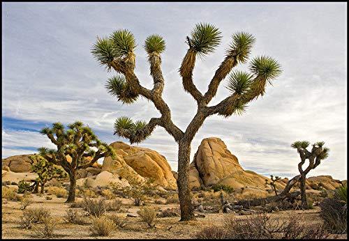 Portal Cool Samen Paket: 5 Samen, exotie Joshua Tree Yucca Var Baccata Dürre Hardy Palm