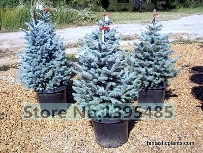 Shopmeeko 50 qualité Blue Spruce Tree Plant Accueil Jardin Plant Evergreen Colorado Blue Epicéa Picea Pungens Glauca Plante D'arbre