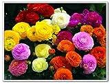 100pcs / bag Ranunculus Asiatico semi di fiore persiani del ranuncolo del seme vaso di fiori pianta da giardino BONSAI domestico di DIY pianta Trasporto libero
