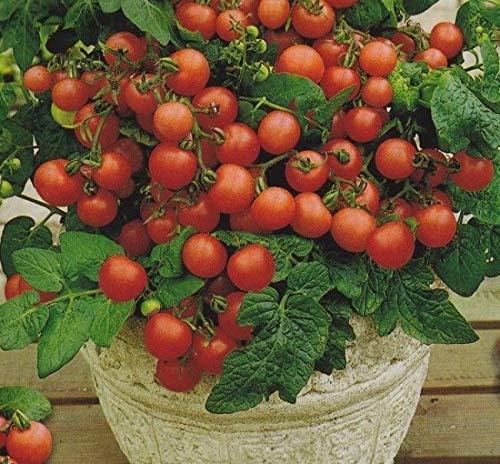 Plantree 20 Samen: Gemüsebusch-Tomate Vilma Heirloom Organic Seeds