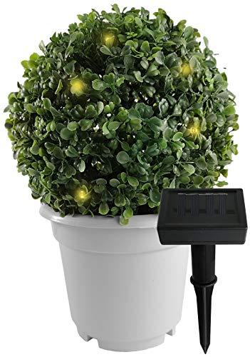 Buchsbaum cm Topf