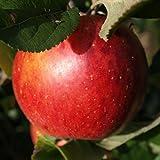Manzano - Manzana roja - Maceta 26cm. - Altura aprox. 1'20m. - Planta viva - (Envíos sólo a Península)