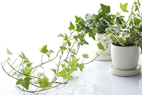 english-ivy-hedera-helix-50-seeds-evergreen-houseplants-for-improving-indoor-air-quality-