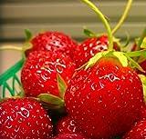 PLAT FIRM GERMINATIONSAMEN: Mara Des Bois Französisch immertragende Strawberry 10 Pflanzen - DIE BESTE GESCHMACK! - wurzelnackte