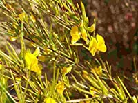 Portal Cool 20 Graines rares Aspalathus Linearis, rooibos Bush honeybush